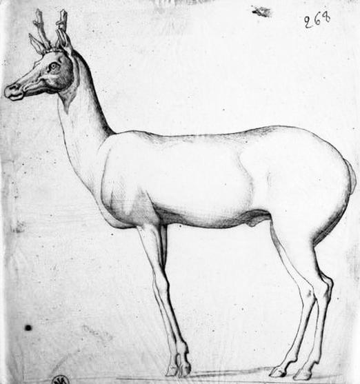Animal - Deer - Drawing - Deer