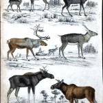 Animal - Deer - Educational plate ( Male)