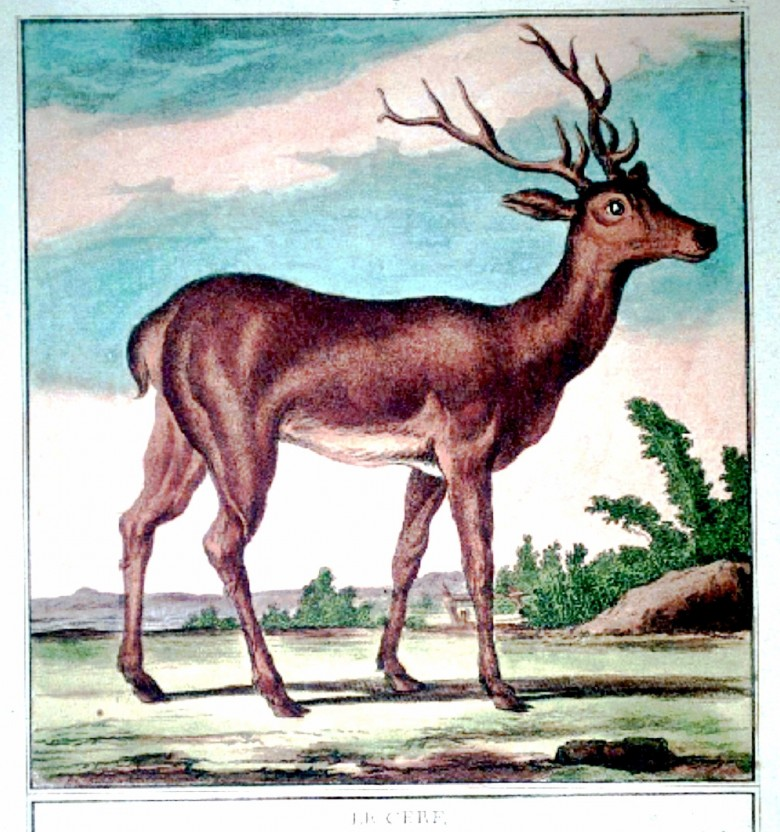 Animal - Deer - French