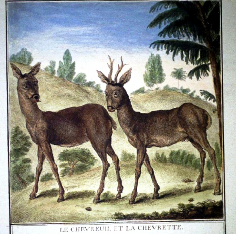 Animal - Deer - French - Male and Female