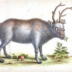 Animal - Deer - Indian Zoology - Deer - Reindeer