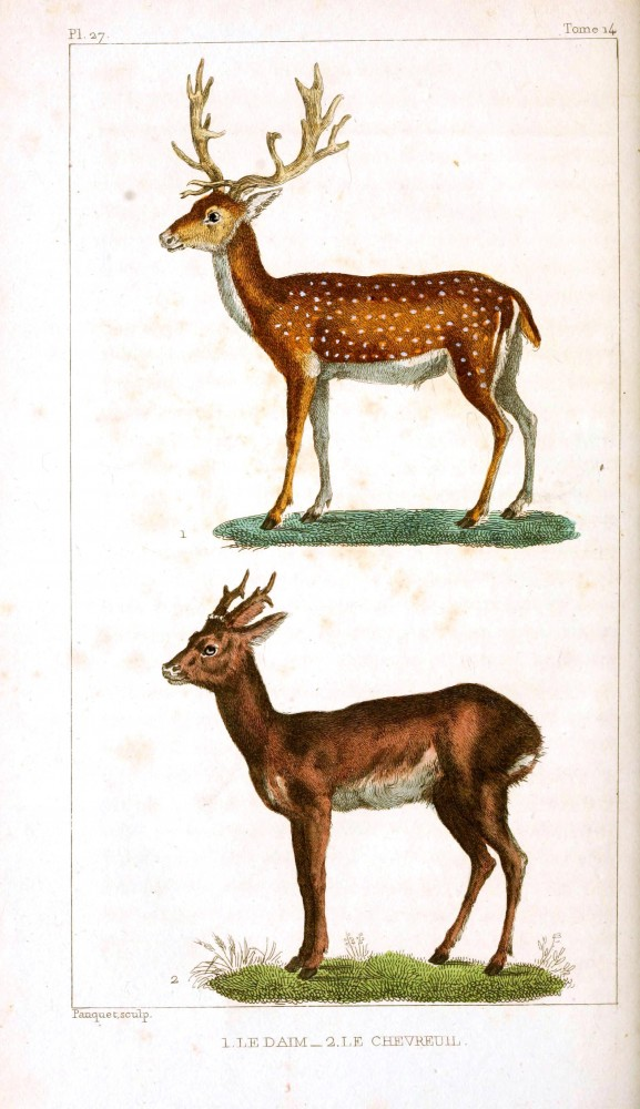 Animal - Deer - Reindeer - Buffon