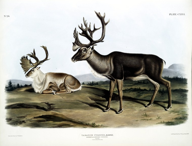 Animal - Deer - Reindeer and caribou