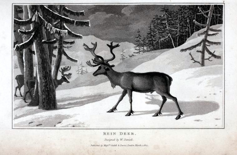 Animal - Deer - Reindeer in snow