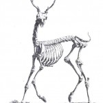 Animal - Deer - Skeleton