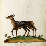 Animal - Deer with extra hind legs - Italian