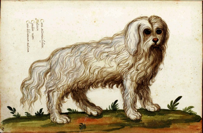 Animal - Dog - Bolognese - Italian