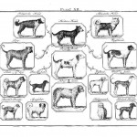 Animal - Dog - Buffon -  Dog Species Diagram