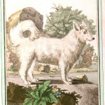 Animal - Dog - Buffon's Quadrupeds (3)