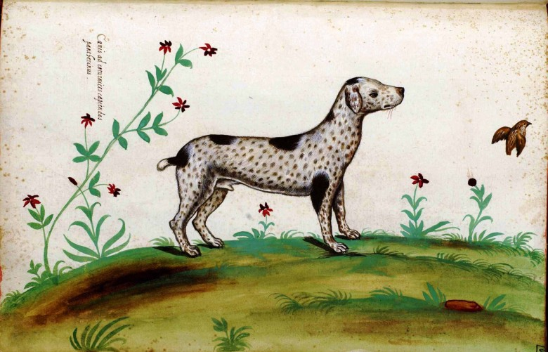 Animal - Dog - Dalmation -  Italian