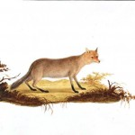 2: ?Canis melanogaster?Bonaparte Black bellied Fox?young South of Italy