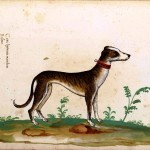 Animal - Dog - Greyhound - Italian (1)