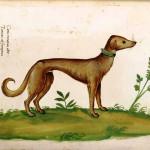 Animal - Dog - Greyhound - Italian (2)