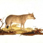 Animal - Dog - Wolf - Animals of the Levant