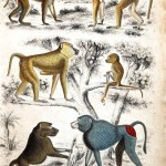 Animal - Educational Plate - Babboons