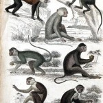 Animal - Educational Plate - Monkeys (guenons)
