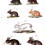 Animal - Educational Plate - Rabbits