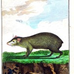 Animal - Engraving 1785 - German - Agouti mouse