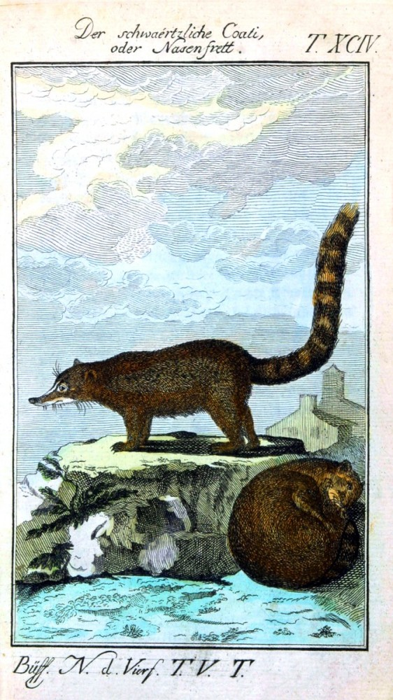 Animal - Engraving 1785 - German - Black Ferret