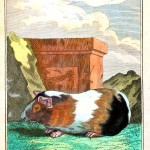 Animal - Engraving 1785 - German - Guinea pig