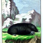 Animal - Engraving 1785 - German - Mole