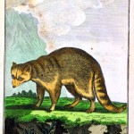 Animal - Engraving 1785 - German - Woodland - Raccoon