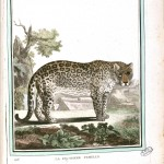 Animal - Female Panther  - Buffon's Quadrupeds (29)