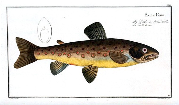 Animal - Fish - Brown Trout