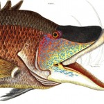 Animal - Fish - Catesby - Hogfish