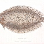 Animal - Fish - Couvier 1834 -  (1)