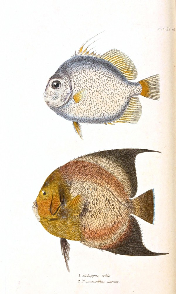Animal - Fish - Couvier 1834 -  (10)
