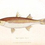 Animal - Fish - Couvier 1834 -  (11)