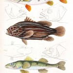 Animal - Fish - Couvier 1834 -  (12)