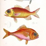 Animal - Fish - Couvier 1834 -  (15)