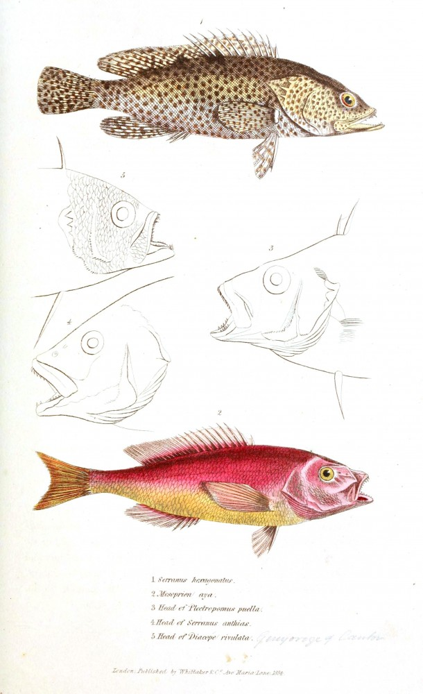 Animal - Fish - Couvier 1834 -  (17)