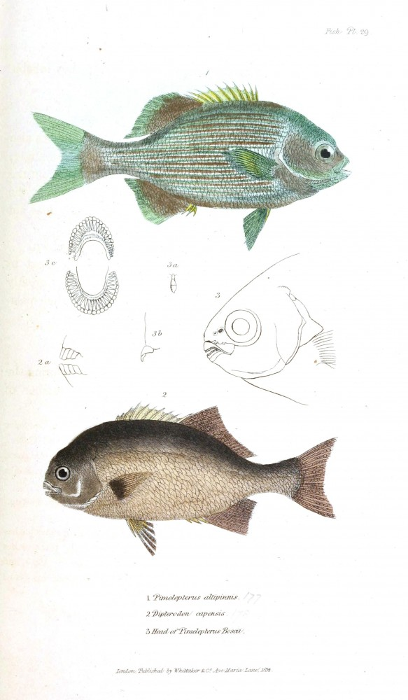 Animal - Fish - Couvier 1834 -  (18)