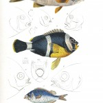 Animal - Fish - Couvier 1834 -  (19)