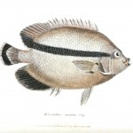 Animal - Fish - Couvier 1834 -  (2)
