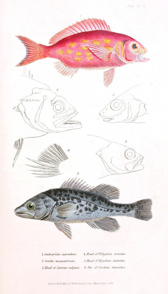 Animal - Fish - Couvier 1834 -  (20)