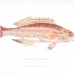 Animal - Fish - Couvier 1834 -  (21)