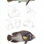 Animal - Fish - Couvier 1834 -  (23)