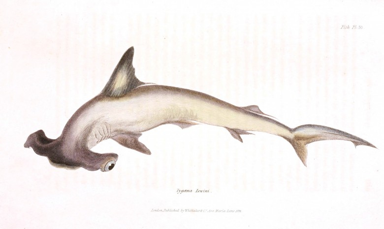 Animal - Fish - Couvier 1834 -  (24)