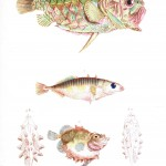 Animal - Fish - Couvier 1834 -  (25)