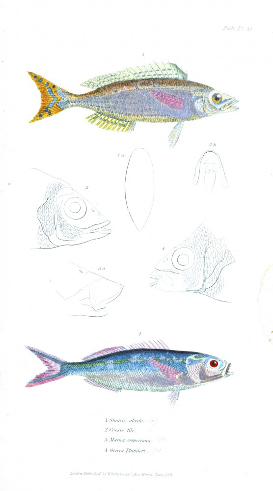 Animal - Fish - Couvier 1834 -  (26)
