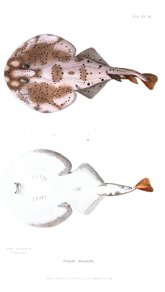Animal - Fish - Couvier 1834 -  (27)