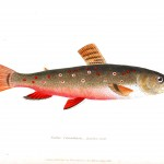 Animal - Fish - Couvier 1834 -  (28)
