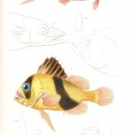 Animal - Fish - Couvier 1834 -  (29)