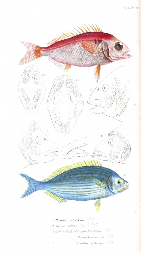 Animal - Fish - Couvier 1834 -  (30)