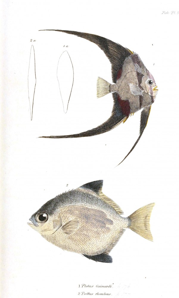Animal - Fish - Couvier 1834 -  (31)