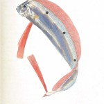 Animal - Fish - Couvier 1834 -  (34)
